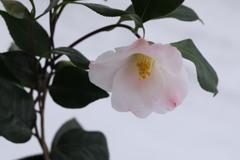 鉢植え椿;以津の夢