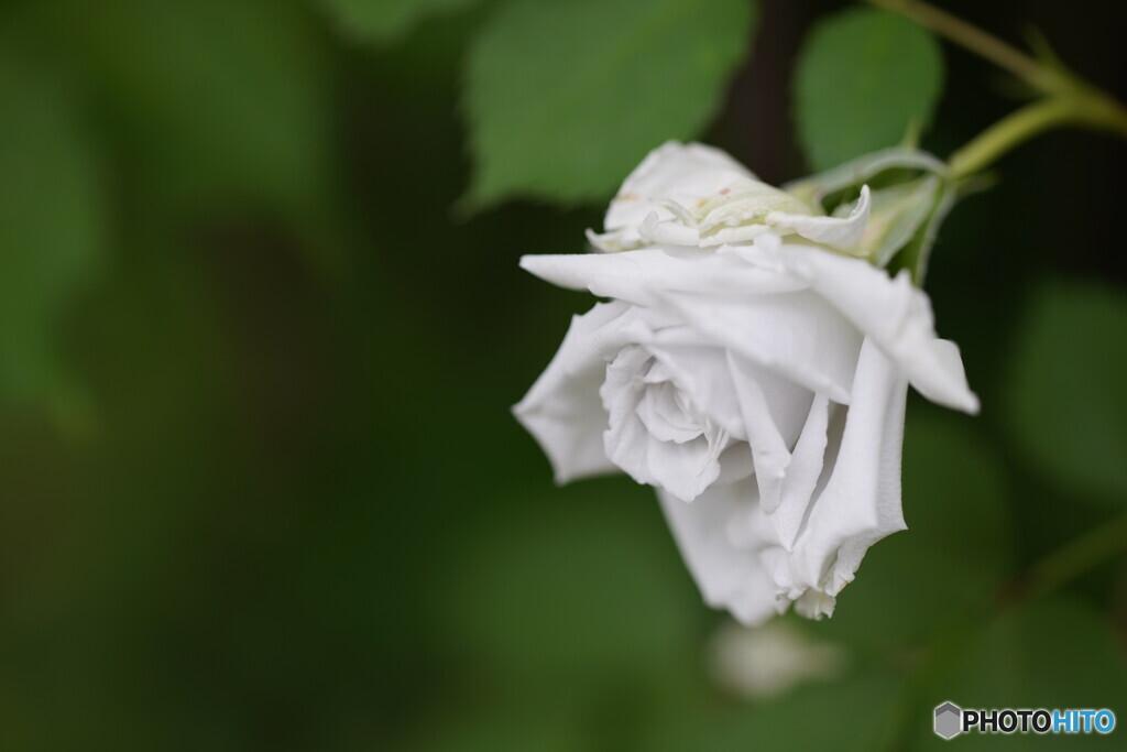薔薇;ガブリエル