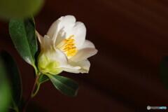 鉢植えの椿;師人(もろひと;もろびと)