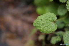 ヒメオドリコソウの葉のハート