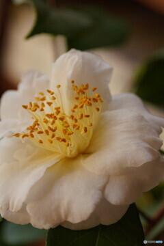 匂い椿(深雪の香)
