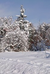 着雪の木々