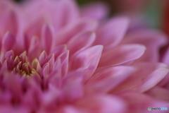花びらの重なり