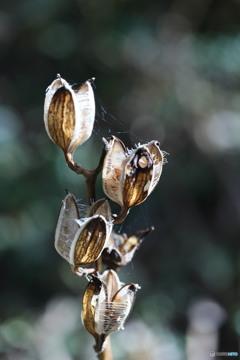 ウバユリの種