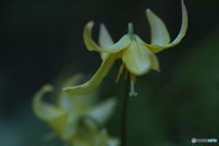 黄花カタクリ
