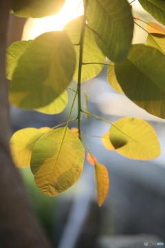 ケムリの木