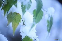 残った葉に雪がつもる