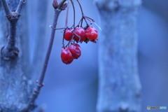 フウリンガマズミの赤い実