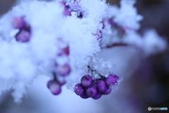 紫の実に雪
