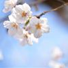 ソメイヨシノ 桜咲く