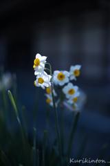 影に咲く花スイセン
