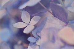 六月雨花 紫陽花