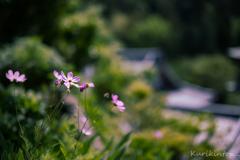 鎌倉に咲く花