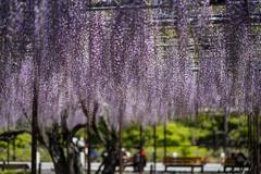 薄紫のカーテン