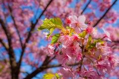 河津桜_3