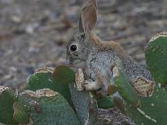 サボテンを食べるワタオウサギ6