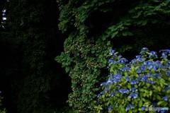 ホップと紫陽花