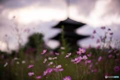 秋桜と法起寺