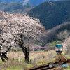 桜と樽見鉄道