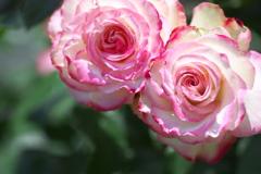 5月の薔薇♪15