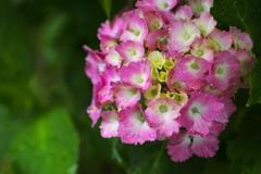 雨の日の紫陽花♪4