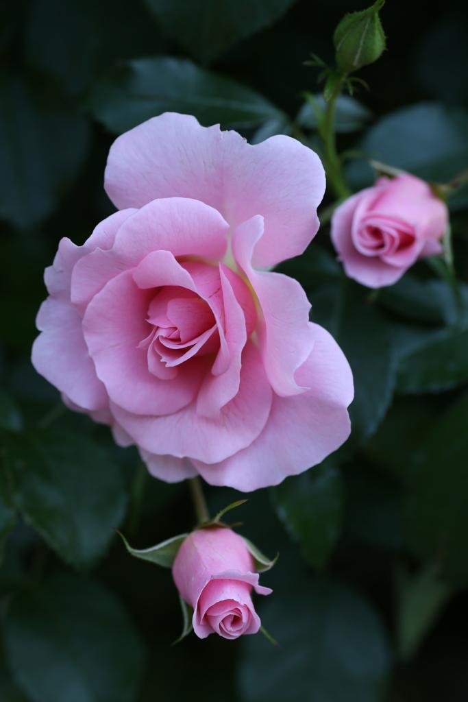 井頭公園の薔薇♪12