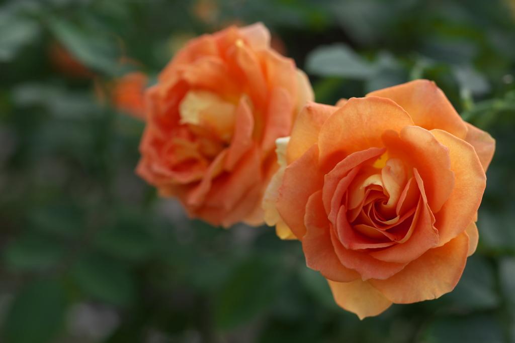 秋の薔薇・あしかがフラワーパーク♪2