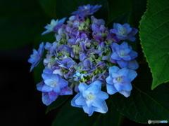 権現堂堤の紫陽花♪9