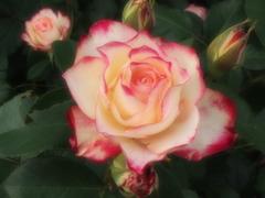 微笑みの薔薇♪5