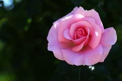 5月の薔薇♪22