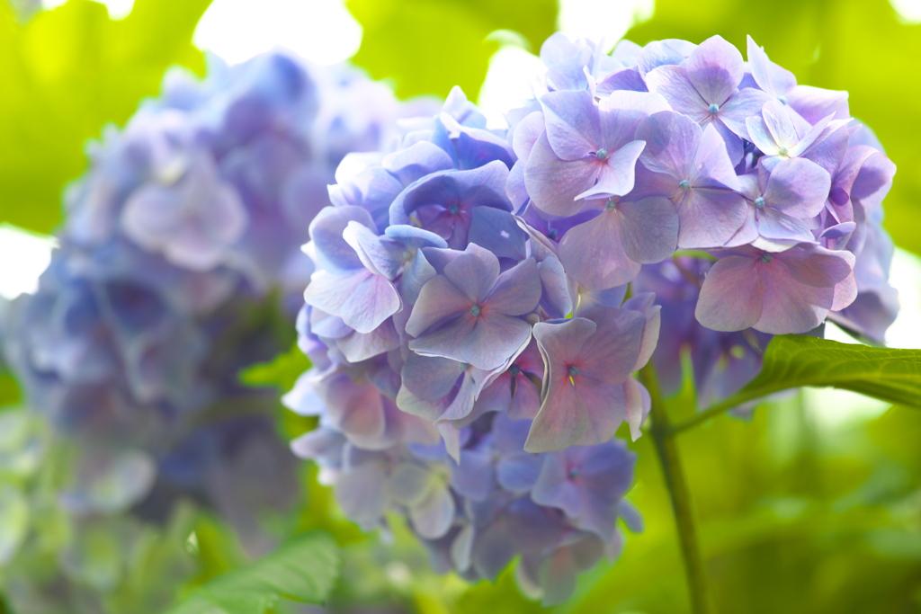 太平山の紫陽花♪18