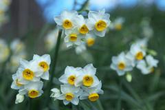 水仙の春♪3