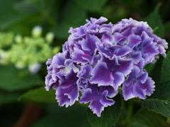 紫陽花♪5