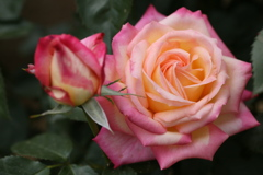 薔薇香る頃♪10
