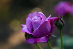 井頭公園の薔薇♪17