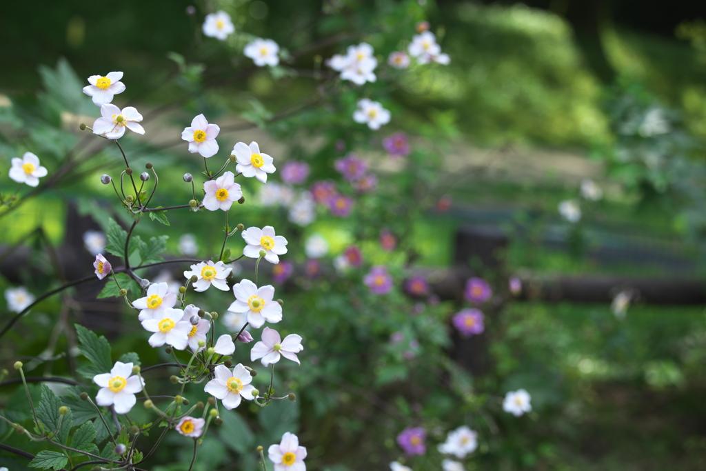 秋明菊♪5