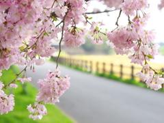 思川桜♪2
