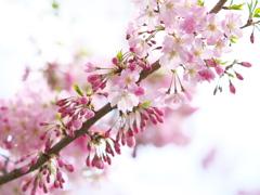 思川桜♪4