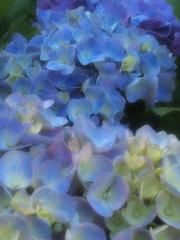 太平山の紫陽花♪9