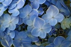 ほほえみの紫陽花♪10