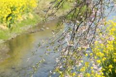 川岸のしだれ桜♪1
