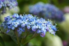 太平山の紫陽花♪3