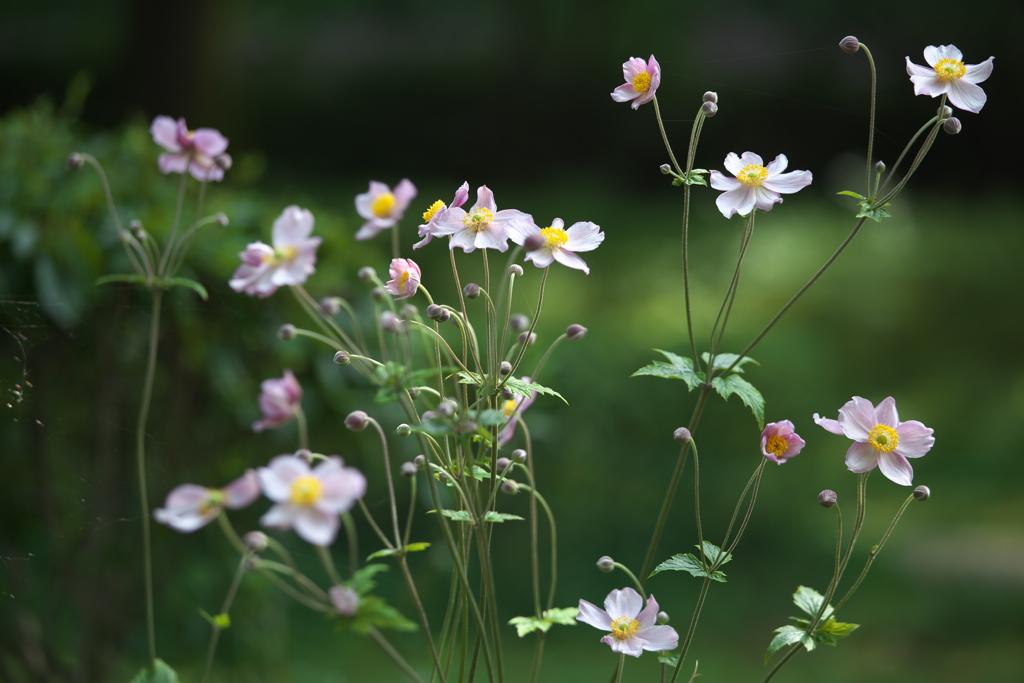 秋明菊♪4