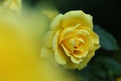 井頭公園の薔薇♪14