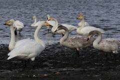 多々良沼の白鳥さん♪2