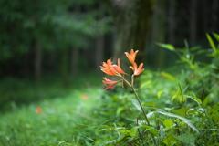 星野の森・夏1