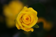 1月の薔薇♪5