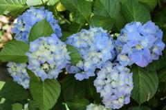 太平山の紫陽花♪1