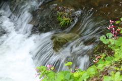 水辺の秋海棠♪3