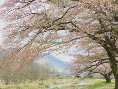 儚い春♪2